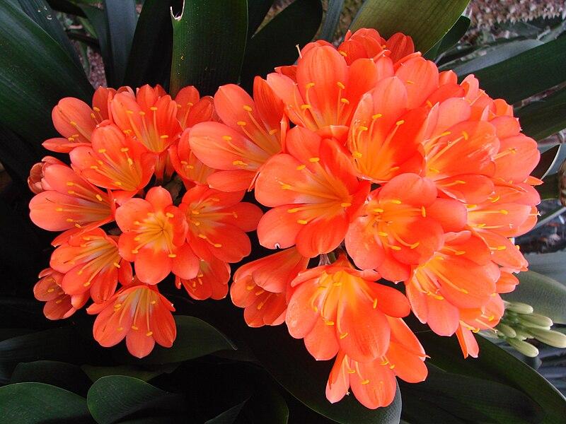 File:Clivia miniata (BG Zurich)-07.JPG