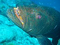 Close up grouper at cleaning station (5453625075).jpg