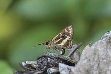 Close wing position of Sebastonyma dolopia Hewitson, 1868 – Tufted Ace .jpg