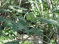 Cnidoscolous souzae2.jpg