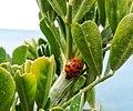 Coccinella sulla scogliera di Calafuria 1.jpg
