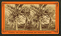 Cocoanut (Coconut) trees showing fruit, from Robert N. Dennis collection of stereoscopic views.jpg