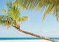 Coconut Tree On Beach in Barbados.jpg