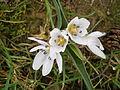 Colchicum hungaricum flower1.jpg