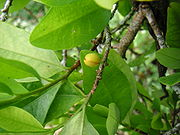 Список наркотических растений   GramRC — курительные смеси спайс ...