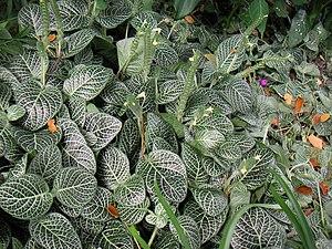 Fittonia albivenis - Image: Colpfl 25