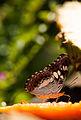 Commander Butterfly in Belvai.jpg