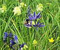Common Blue Camas and Death Camas together - Flickr - brewbooks.jpg