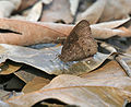 Common Bushbrown Mycalesis perseus- Dry season form in Kolkata W IMG 3706.jpg