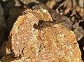 Common Darter (Sympetrum striolatum) female (15911747242).jpg