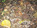 Common Garter Snake (Thamnophis sirtalis) - Flickr - GregTheBusker (2).jpg
