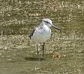 Common Greenshank. Tringa nebularia - Flickr - gailhampshire.jpg