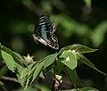 Common Jay (Graphium doson) on Singapur cherry (Muntingia calabura) W IMG 9595.jpg