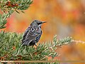 Common Starling (Sturnus vulgaris) (38083760752).jpg