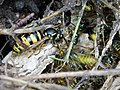 Common Wasp Vespula vulgaris nest with Queen (25774793038).jpg