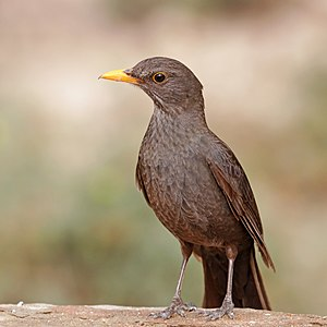 Common blackbird (Turdus merula mauretanicus) female.jpg