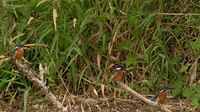 Fail:Common kingfisher (Alcedo atthis) in Slovakia.webm