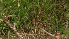 Податотека:Common kingfisher (Alcedo atthis) in Slovakia.webm