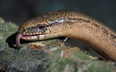Slika:Common slowworm (Anguis fragilis).jpg