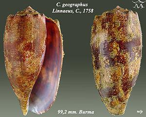 Conus geographus - Image: Conus geographus 2