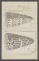Conus litteratus - - Print - Iconographia Zoologica - Special Collections University of Amsterdam - UBAINV0274 086 02 0004.tif
