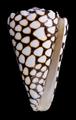 Conus marmoreus.png