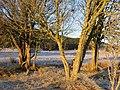 Copse of trees below derelict cottage at Ballieward - geograph.org.uk - 1188810.jpg