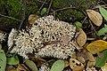 Coral fungi3 839.jpg