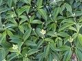 Cornus elliptica - J. C. Raulston Arboretum - DSC06227.JPG