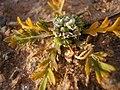 Coronopus squamatus inflorescens (03).jpg
