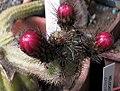Corryocactus tenuiculus.jpg