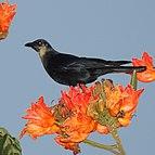 Corvus sinaloae (cropped).jpg