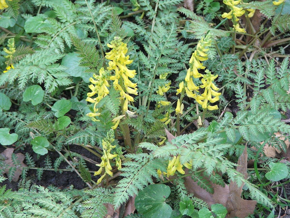 Corydalis Cheilanthifolia Wikipedia