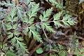 Corydalis pallida var. tenuis 12.jpg