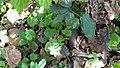 Corydalis sp., Ranunculaceae 01.jpg
