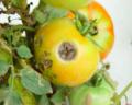 Corynespora cassiicola Ring-Spot Symptoms on Tomato Skin.png
