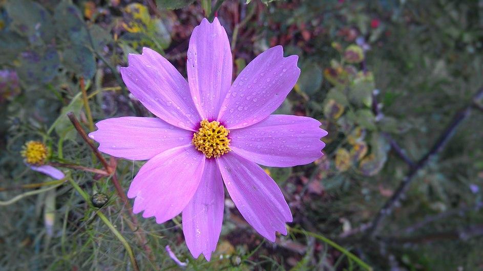 Cosmos (plante).jpg