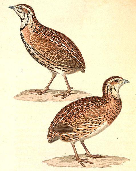 File:Coturnix coromandelica 1838.jpg