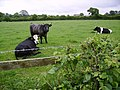 Cows Near Ulverston - geograph.org.uk - 189134.jpg