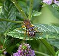 Crabronidae. Mellinus arvensis - Flickr - gailhampshire (2).jpg
