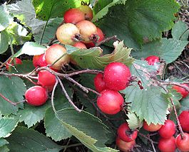 Crataegus-submollis-fruit.jpg