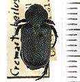 Cremastocheilus armatus Walker, 1866 - 5558923642.jpg