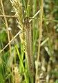Creoleon lugdunensis.jpg