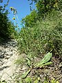 Crepis pannonica sl2.jpg
