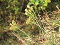 Crinitaria linosyris2.jpg