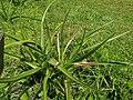 Crinum mauritianum 2019-09-27.jpg