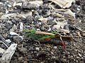 Criquet migrateur (12).jpg