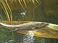 Crocodile marin.jpg