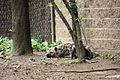 Crocuta crocuta at the Bronx Zoo 001.jpg