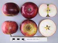 Cross section of Ben's Red, National Fruit Collection (acc. 1957-208).jpg